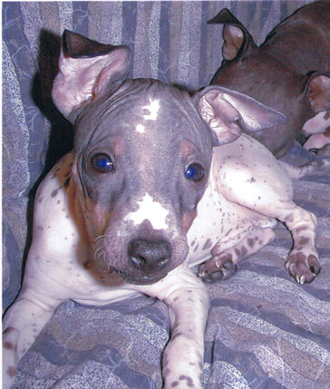 American Hairless Terrier puppy, Scooby