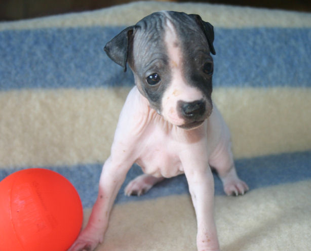 American Hairless Terrier puppy playing with a ball